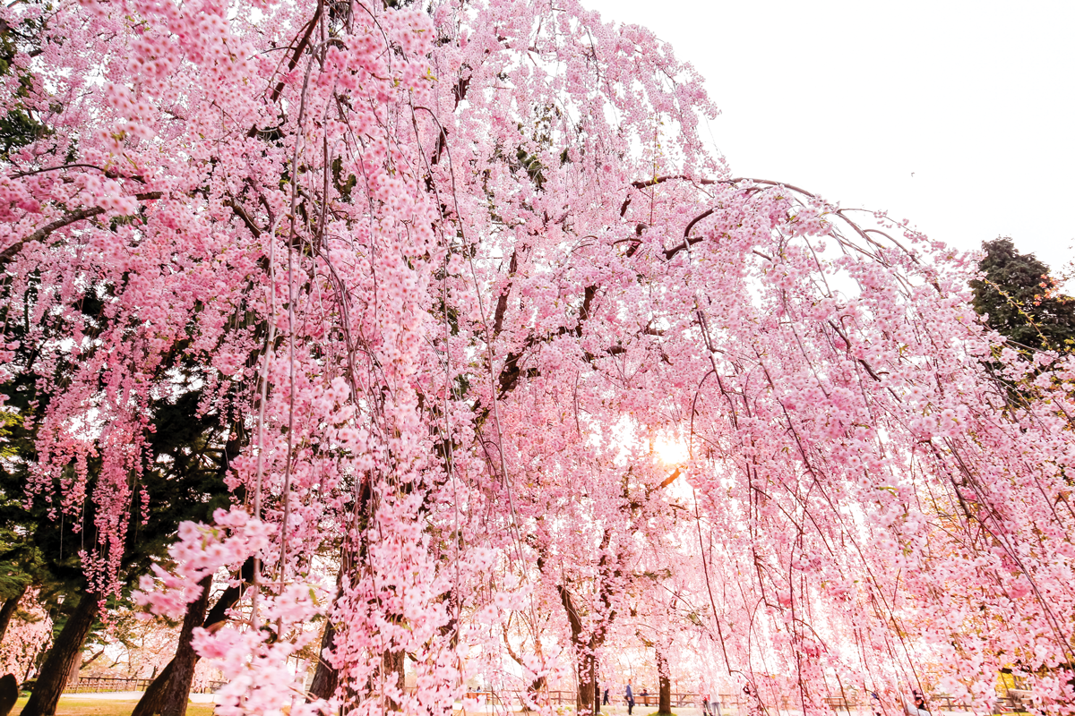 Weeping Cherry Trees Are Worth Celebrating Owensboro Living